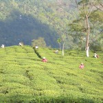 cueillette du thé au sikkim