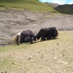 bataille de yack