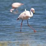 Flamants rose sur le lac